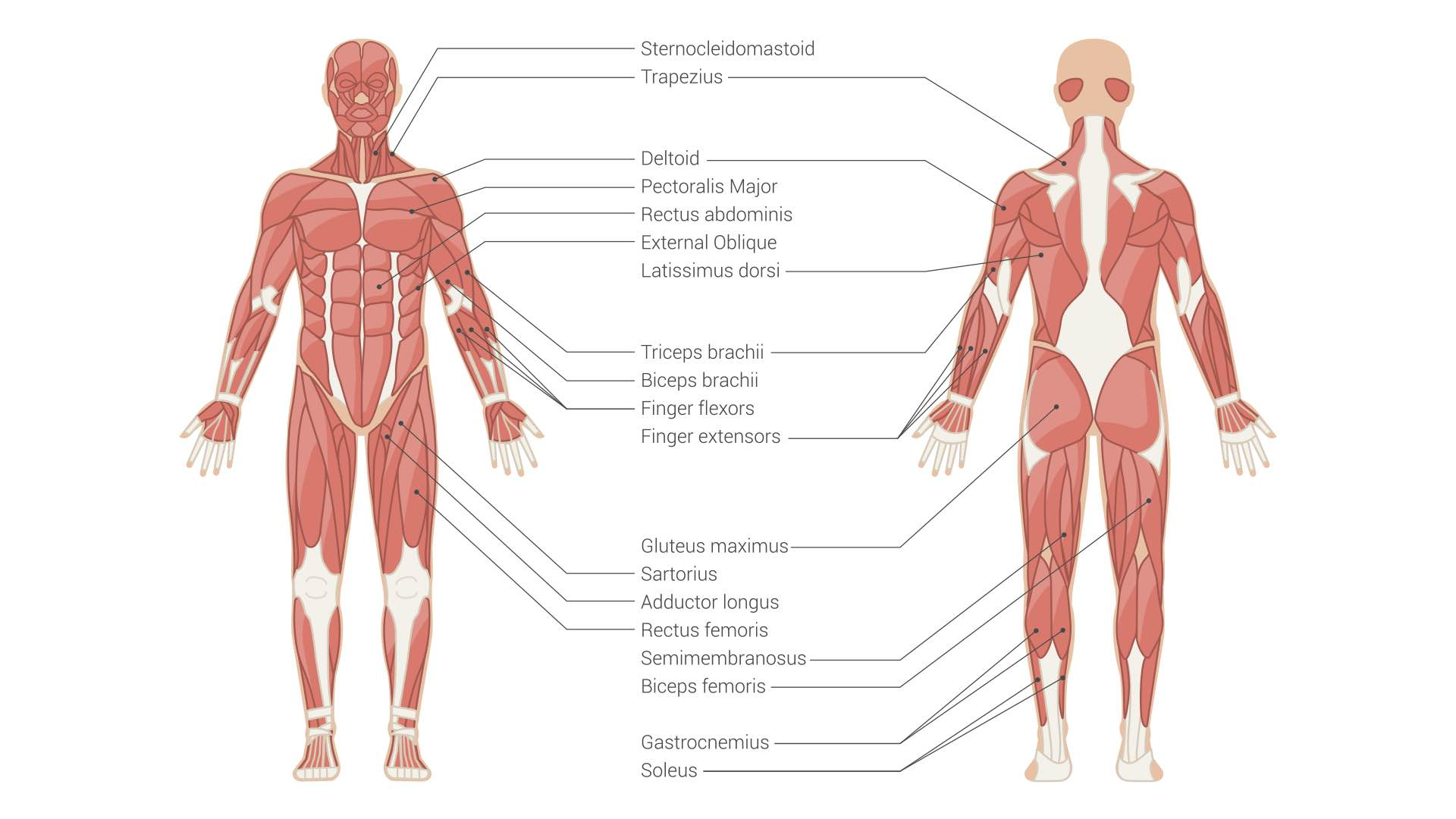 muscle physiology simplified